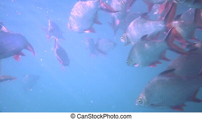 Nile tilapia in pond (Oreochromis niloticus) in Ratchaprapha Dam at Khao Sok National Park, Surat Thani Province, Thailand - coloured video