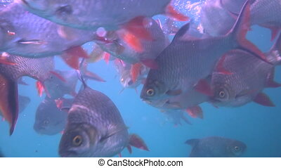 Nile tilapia in pond (Oreochromis niloticus) in Ratchaprapha...