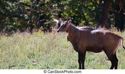 Nilgai Antelope Male - Nilgai or Blue Bull Antelope Male...