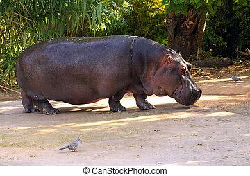 nilpferd, amphibius., adelaide, zoo, australia