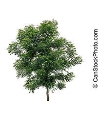 nim or neem tree isolated on white background.