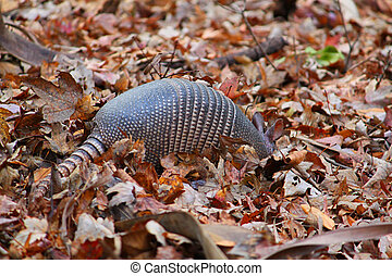 Nine-banded Armadillo (Dasypus novemcinctus) in Highlands ...