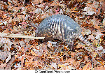 Nine-banded Armadillo Florida - Nine-banded Armadillo (...