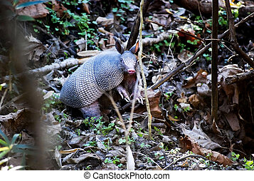 Nine-banded Armadillo by Den