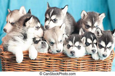 nine husky puppies - nine little husky puppy sitting in a...