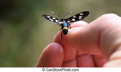 Nine-spotted moth butterfly on human hand - Amata phegea....