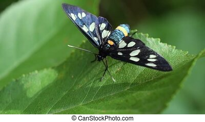 Nine-spotted moth butterfly sits on green leaf in summer....