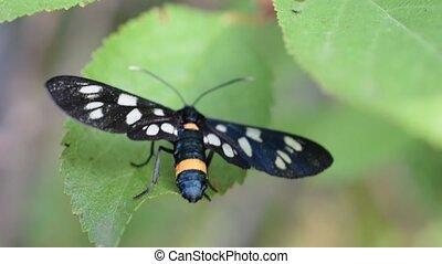Nine-spotted moth on green leaf