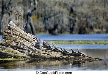 nine turtles on log - Group of nine Turtles sunning on...