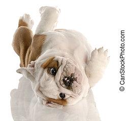 nine week old english bulldog puppy rolling on his back