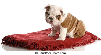 nine week old english bulldog puppy sitting on a red blanket
