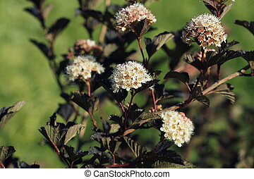 Ninebark or Physocarpus opulifolius shrub bloosom in garden. Dwarf shrub with deep red foliage for landscape gardening
