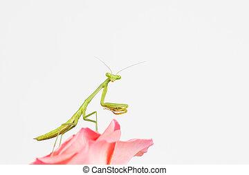ninfa, rezando, verde, mantis
