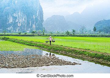 ninh, granjero, field., arroz, binh, vietnamita, trabaja, vietnam