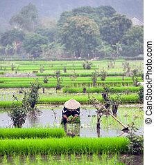 ninh, vietnam., ryżowe pole, rozdrażnienie, binh
