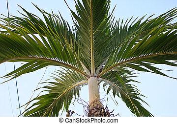 Nipa Palm