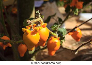 Nipple fruit ,Solanum mammosum,Titty fruit or Fox face. -...