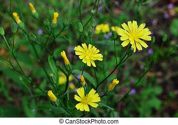 Close-up image of the yellow flowering Nipplewort.