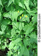 Nipplewort (Lapsana communis) in the meadow