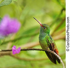 Hummingbird, Rufous-Tailed; Amazilia tzacatl. Chilamate, Costa Rica.