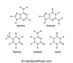 Nitrogenous bases - Purine and pyrimidine nitrogenous bases...