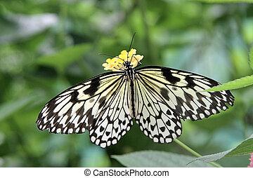 Nive butterfly