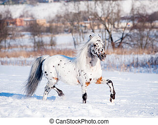 noble appaloosa pony in winter field