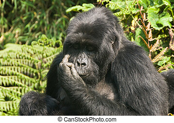 Noble - Close up on a gorilla in a forest, Rwanda