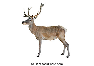 Noble deer isolated on white background