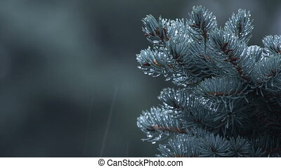 Noble fir tree branch in the wind - Noble fir tree branch...