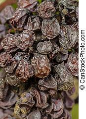 noble, molde, uva, botrytis, uvas, sauternes, putrefacción, ...