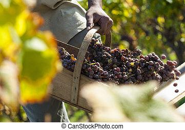 noble, molde, uva, uvas, botrytis, putrefacción, vino