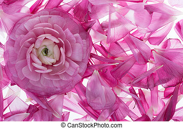 noble rose background - creative background with noble pink...