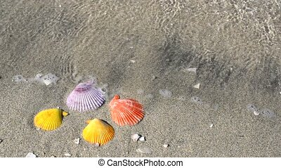 Noble scallop shell - Colorful noble scallop shell on a...