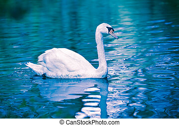 Noble swan with reflection in the water - Noble swan with...