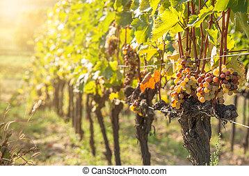 noble, uva, botrytised, uvas, putrefacción, vino