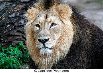 nobre, leão, retrato
