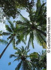 noce di cocco, albero