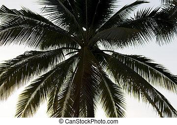 noce di cocco, cielo, albero, scuro, silhouette, tramonto