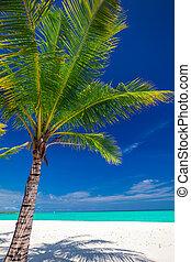 noce di cocco, maldive, albero, tropicale, singolo, palma, spiaggia bianca
