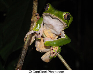 noche, árbol, mono, rana, bicolor