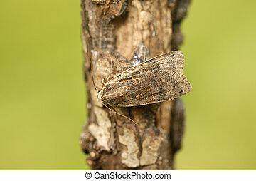 noctua, pronuba, large-yellow, underwing, moth
