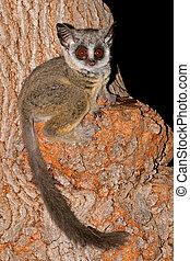 Lesser Bushbaby - Nocturnal Lesser Bushbaby (Galago moholi)...