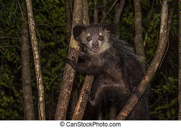 nocturne, lemur, aye-aye, madagascar