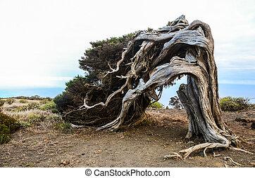 nodoso, albero, vento, ginepro, modellato
