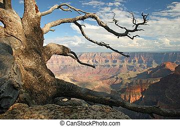 nodoso, -, canyon, pino, grande