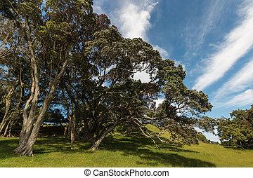 nodoso, pohutukawa, albero