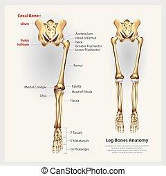 noga, ilustracja, anatomia, wektor, ludzki, kość