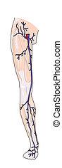 noga, słojowanie