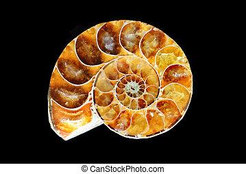 noir, ammonite, fossilisé, fond